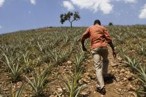 Fields of pineapples and pineapple 'sucker' nurseries can grow well on slopes and cope with difficult growing conditions. Photo credit: Simon Rawles/Oxfam