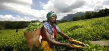 Woman pickling tea leaves in Malawi. Photo: Abbie Trayler-Smith/Oxfam