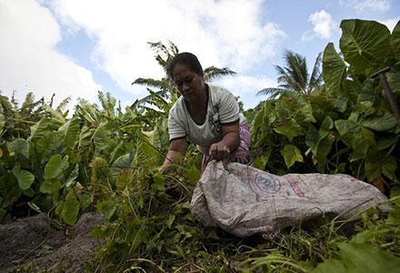 A woman tends to her pulaka pit in Funafuti, Tuvalu.